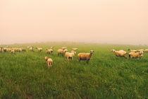 Schafe im Nebel by Jürgen Müngersdorf