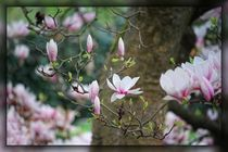 Magnolienblüten by mario-s