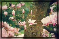 Magnolienblüten von mario-s