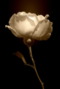 'Rose In Sepia' von CHRISTINE LAKE