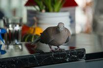Bar-pigeon