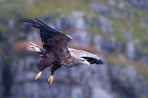White tailed eagle on the Isle of Mull Scotland by mbk-wildlife-photography