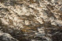Schilf im Wind by Beate Zoellner