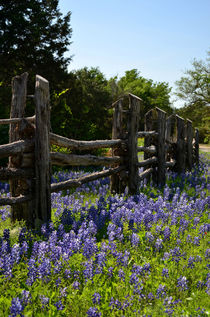 Bluebonnets of Texas von Tom Campbell