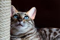 Imani, die Bengalkatze 1 von Manuela Trost