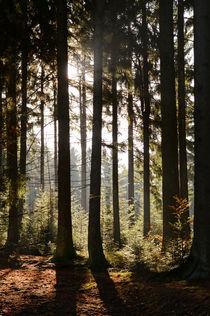 Wald im Gegenlicht by Karin Stein