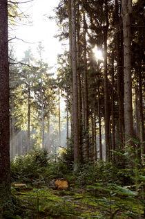 Sonnenstrahlen im lichten Wald von Karin Stein