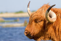 Highland Cattle in Oare Marshes, Kent by mbk-wildlife-photography