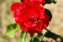 Die Biene auf Nektarsuche in der Rose by ann-foto