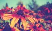 Orange-Red Flower - Rudbeckia fulgida von Pascal Betke