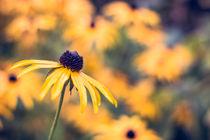 Yellow flower - Rudbeckia fulgida von Pascal Betke