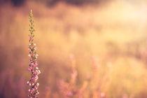 Heidestrauch in der Sonne by Pascal Betke
