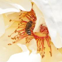 bee on white rose pistils von bruno paolo benedetti