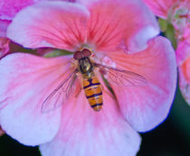 pollinating bee on pink flower by bruno paolo benedetti