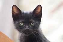 black kitten portrait von bruno paolo benedetti