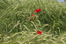 poppies in wheat field von bruno paolo benedetti