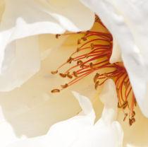 white rose pistils von bruno paolo benedetti