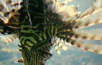 drachenfisch* von studio111