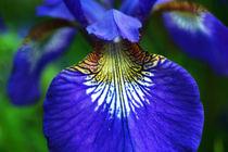 Sibirische Iris von Sabine Radtke