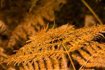 Farngold im Herbst von Thomas Ulbricht