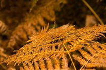 Farngold im Herbst by Thomas Ulbricht