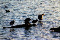 Die Tauchervögel by ann-foto