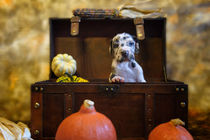 Doggen Welpe / 1 von Heidi Bollich