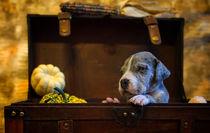 Doggen Welpe / 5 von Heidi Bollich