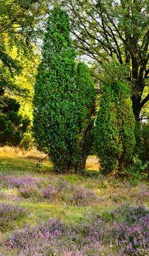 Blühende Heide von gscheffbuch