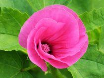 Gentle blooming by Barbara Imgrund