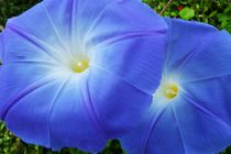 Blue twins by Barbara Imgrund