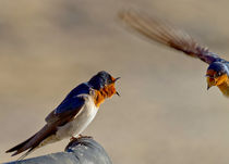 Swallow Fight Cairns Australia von mbk-wildlife-photography