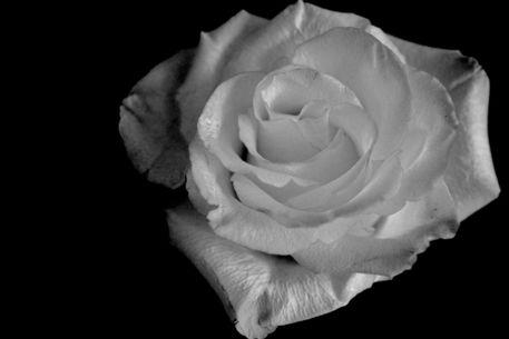Rose-gelb-101b