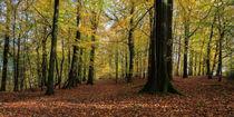 Beech Wood Panorama  von David Tinsley
