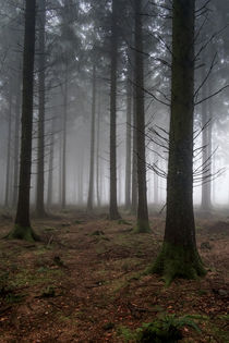 Misty Spruce Woods by David Tinsley