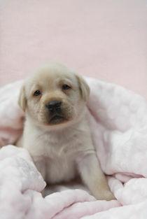 Labrador Welpe / 35 von Heidi Bollich