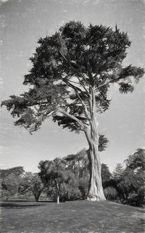 Cypress Tree In Golden State Park Black And White von John Bailey