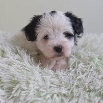 Tibet Terrier Welpe / 2 von Heidi Bollich