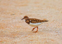 Portrait Of The Ruddy Turnstone by John Bailey