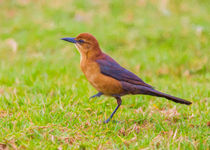 Lady Grackle Steps Out #2 von John Bailey