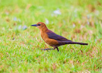 The Lady Grackle March #3 by John Bailey