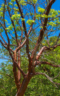 The Gumbo Limbo Tree von John Bailey