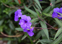 Mexican Petunia by John Bailey