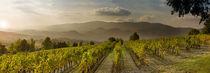 Vignes en Luberon by gilles lougassi