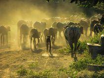 Rinder im Staub - Going home, Myanmar von marie schleich