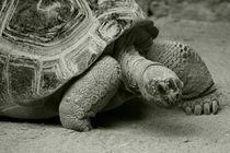 Giant Tortoise  von Rob Hawkins