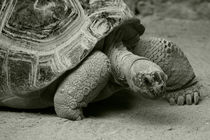 Giant Tortoise  by Rob Hawkins