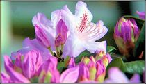 Lila Schönheit by bilddesign-by-gitta