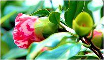 Blütentraum 1 von bilddesign-by-gitta