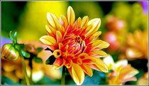 Gartenschöne Astern von bilddesign-by-gitta